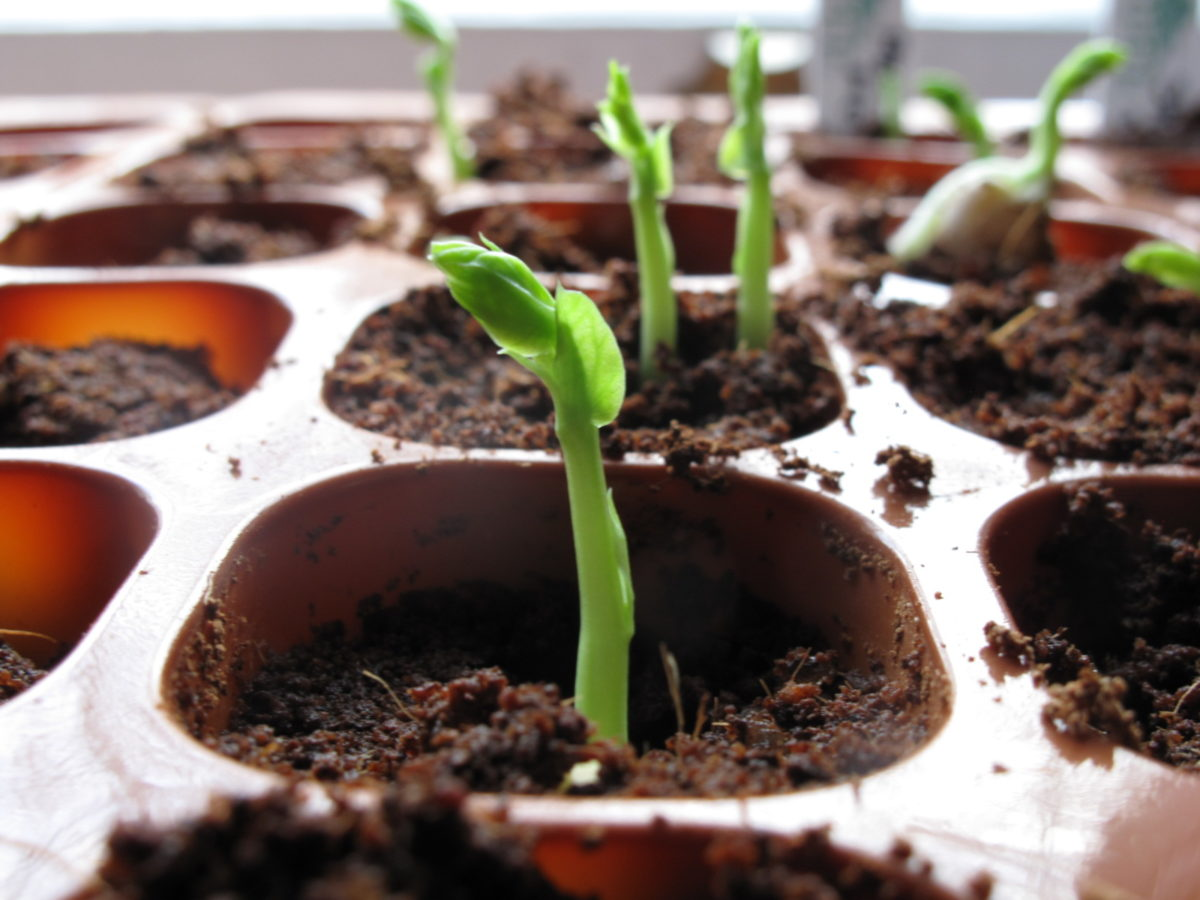 Herneenversoja kasvamassa taimipurkissa.